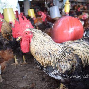gallinas criollas ponedoras