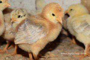 pollas criollas